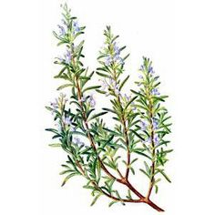 Free Rosemary Clipart - Public Domain Herb clip art, images and graphics