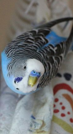 Briciolino: Wellensittich - cocorita - papagallino - budgie
