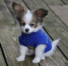 Extensive information about Papillon Dogs . Health, diet, daily care, history, available AKC registered Papillon puppies. Cute Puppies, Cute Dogs, Dogs And Puppies, Doggies, Animals And Pets, Baby Animals, Cute Animals, Funny Animals, Papillion Puppies
