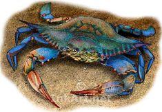 blue crab | Full color illustration of a Atlantic Blue Crab (Callinectes sapidus)