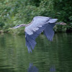 Blue Heron.  I love to watch them fish and it's very impressive to watch these huge birds take flight.  Large but graceful.