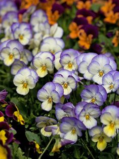 Pansies and violets are the go-to standbys for cool-weather blooms. Pansies and violets Spring Garden, Winter Garden, Double Impatiens, Plants For Shady Areas, Shade Annuals, Landscaping Around Trees, Landscaping Ideas, Yard Landscaping, Shade Garden Plants
