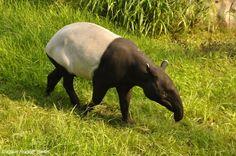 Malayan Tapir | Tapirus indicus Desmarest, 1819 - Malayan Tapir