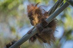 Orangutan Acrobatics at the San Diego Zoo