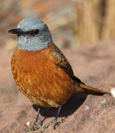 ルリガシライソヒヨ Cape rock thrush (Monticola rupestris) male