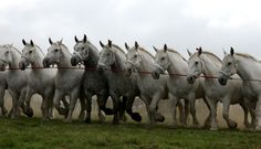 All Percherons omg!