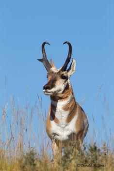 Pronghorn Antelope03438D | Pronghorn Antelope