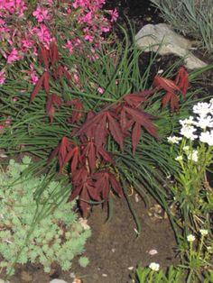 Javor ´ Mini crvenolisni
