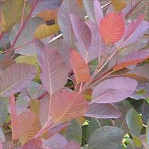 Smoke bush are shapely rounded shrubs or small trees, once grouped with the sumachs (Rhus) and popular as specimen plants for their summer interest and autumn colour. There are green and purple-leafed forms, both kinds covered in summer with a smoky haze of soft open flower plumes, pinkish purple in the variety 'Grace'. This is a green-leafed variety with a showy display of flowers, followed in September and October by an incendiary change of leaf colour to an increasingly brilliant…