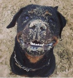 Find Out More On The Calm Rottweiler Puppies Big Dogs, I Love Dogs, Cute Dogs, Dogs And Puppies, Chihuahua Dogs, Funny Dogs, German Dog Breeds, Pet Breeds, Positive Dog Training