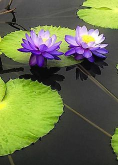 Water Lily Pads in Purple by Timothy Hacker Pond Plants, Aquatic Plants, Water Plants, Water Flowers, Purple Flowers, Beautiful Flowers, Art Floral, Nymphaea Lotus, Lotus Flower Pictures