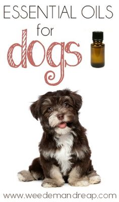 Great list of essential oils that can be used on dogs plus tips to use them. #dog #health
