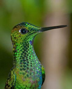 hummingbird,Monteverde,Costa-Rica by Benoit Beauchamp on 500px