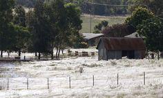 Drei australische Bundesstaaten haben dieses Jahr Rekord-Sommer-Regen, Überschwemmungen Flüsse und Dämme liefen über. Über 13.000 Menschen wurden aus ihren Häusern evakuiert. Allerdings sind die Menschen nicht die einzigen Betroffenen der Überschwemmungen in Australien. Spinnen haben Berichten zufolge Bahnen um Bäume, Pflanzen und Sträucher belagert. Um vor dem Hochwasser zu entkommen.