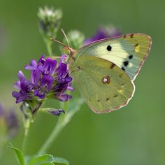 Colias sp. | Clouded yellow butterfly gathering nectar from … | Flickr