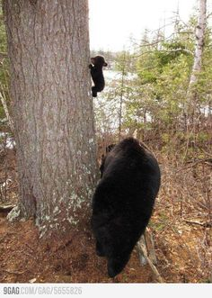 Baby bear's first climbing lesson.