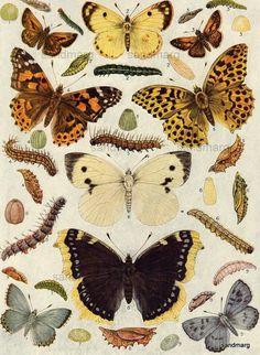 1923 European Butterflies and Moths Natural History Print
