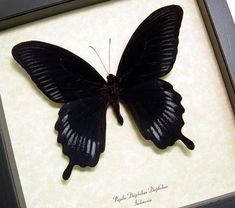 ...  Male giant black swallowtail butterfly real framed Indonesia