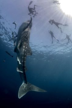 How freaking amazing...................whale sharks and people just hanging out GrindTV.com