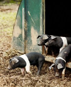 Piglets in their sty