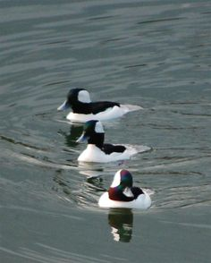Ducks Unlimited Photo Gallery : WILDLIFE Duck Species, Ducks Unlimited, Game Birds, Nesting Boxes, Duck Hunting, Northern Michigan, Pheasant, Quail, Swans