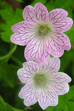 Perennial Geranium, My Secret Garden, Summer Garden, Geraniums, Dream Garden, Perennials, Beautiful Flowers, Tattoo Ideas, Planters