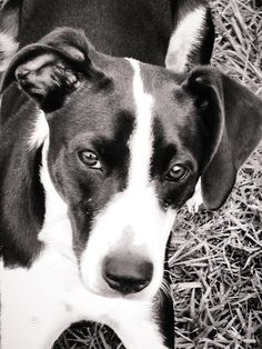Short haired border collie mix, female. Beauty is in the eye of the beholder.
