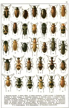 """G.G. Yakobson (1905-1915) - """"Beetles of Russia"""": table 81"""