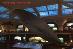 Blue Whale in the American Museum of Natural History