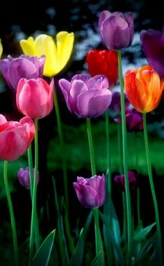 Tulips ~ My favorite flowers. I love all the bright colors and they just make me feel happy!