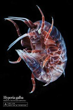 Crustáceo parasita de águas-vivas (Ordem Amphipoda: Hyperia galba)