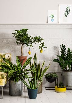 From left: rattlesnake plant  Lemon tree ,  Aloe vera, Snake plant in pot (£45 for two, rockettstgeorge.co.uk). Turtle vine, African spear . ZZ