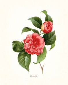 REDOUTE SERIES 1 - CAMELIA GICLEE CANVAS PRINT This print features an antique botanical illustration by the renowned Pierre Redoute which has been digitally enhanced and added to a light neutral backg
