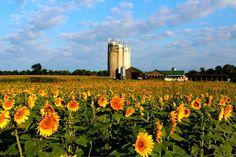 Sunflower Season Beings... Broom's Bloom in Harford Co MD