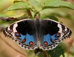 Junonia orithya is a nymphalid butterfly with many subspecies occurring from Africa, through southern and south-eastern Asia, and in Australia. In India its common English name is the Blue Pansy. In Australia this butterfly is known as the Blue Argus.