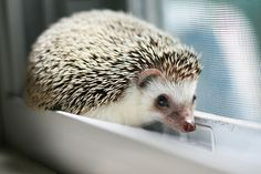 Acorn the Hedgehog.
