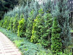 juniperus scopulorum blue heaven | ... ( Mountain Red Cedar, Rocky Mountain Juniper/ Juniperus scopulorum