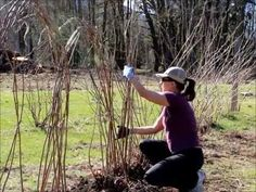 Learn how to tie up your raspberries, what type of mulch and how deep to mulch for healthier raspberry plants.