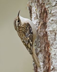 The Brown Creeper (Certhia americana). Brown Creepers are tiny woodland birds with an affinity for the biggest trees they can find. Look for these little, long-tailed scraps of brown and white spiraling up stout trunks and main branches, sometimes passing downward-facing nuthatches along the way.