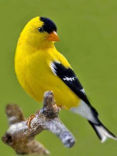 Fringillidae: The American Goldfinch is a small North American bird in the finch family. All Birds, Cute Birds, Pretty Birds, Little Birds, Beautiful Birds, Animals Beautiful, Angry Birds, Exotic Birds, Colorful Birds