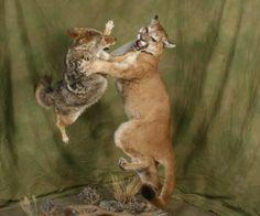 _Coyote--lion.jpg (721×600)