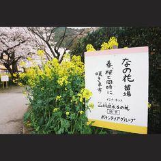 【chloexu0521】さんのInstagramをピンしています。 《#寇依日本独行记 ~ Vol. 563 ~ 26th, Sep., 2016. 京都。 #japan #日本 #Kyoto #kyotojapan #京都 #spring  #flower #flowers #flowerstagram #flora #floweroftheday #flowerporn #floral #florals #blossom #blossoming #bloom #blooms #blooming #nature #instaflowers #instaflower #花 #꽃  #はな #cherryblossom #cherryblossoms #桜 #さくら》