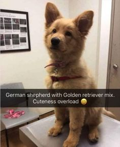 Stunning hand crafted golden retriever accessories and jewelery available at Paws Passion Shop! Represent your golden retriever pup with our merchandise! Cute Funny Animals, Funny Animal Pictures, Cute Baby Animals, Funny Cute, Funny Dogs, Animals And Pets, Funny Memes, Super Funny, Funny Love Jokes