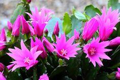 spring/easter pictures | Spring cactus ( Rhipsalidopsis gaertneri ).