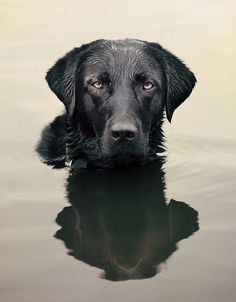 Stunning dog portrait #labradorretriever
