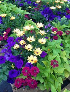 Yellow osteospermum (Cape daisy), violet petunia, burgundy verbena, sweet potato vine