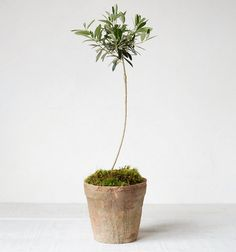 olive topiary, Terrain,  featured in Remodelista
