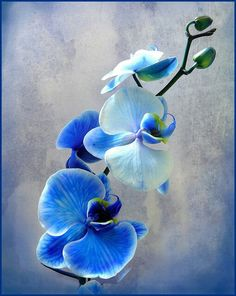Blaue Diamantorchideen - A flora-Fauna & landscapes board. Amazing Flowers, Blue Flowers, Beautiful Flowers, Blue Orchid Tattoo, Watercolor Flowers, Watercolor Paintings, Orchid Drawing, Orchids Painting, Flower Garden Design