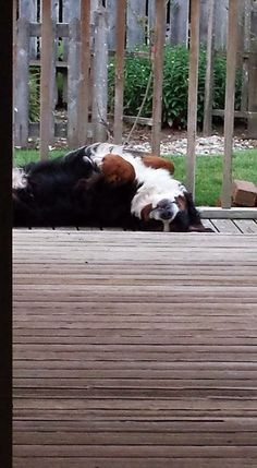 common Berner pose seen frequently @ our home