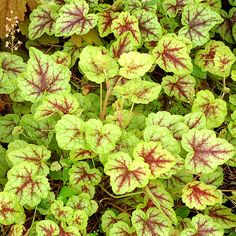 'Gold Cascade' Heucherella - Growing conditions: shade, partial shade Size: 6–8 inches tall, 18–24 inches wide